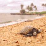 2016年GWハワイ旅行5日目②-アリイビーチでウミガメ探しなど-